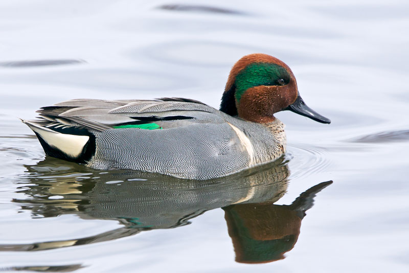 Green Winged Teal. Photo by Stephen Cunliffe.