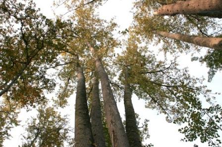 giant aspen
