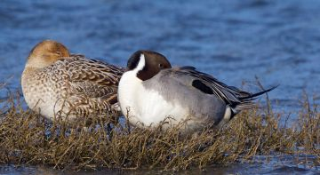 Northern pintails by Stephen Cunliffe