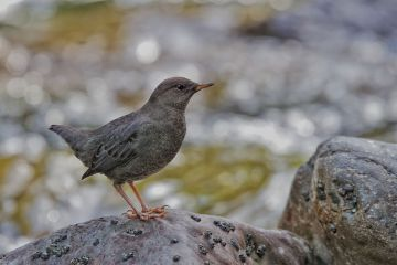 American Dipper. Photo by Stephen Cunliffe.