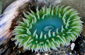 Sea Anemone. Photo by Stephen Cunliffe.