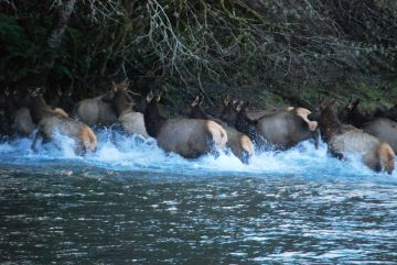 Elk crossing the Duckabush by Artemis Celt